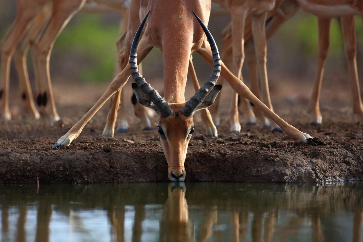 """Eine Impala trinkt bei Francistown in Botswana aus einem Wasserloch. """"Die Symmetrie in dieser Aufnahme ist ..."""