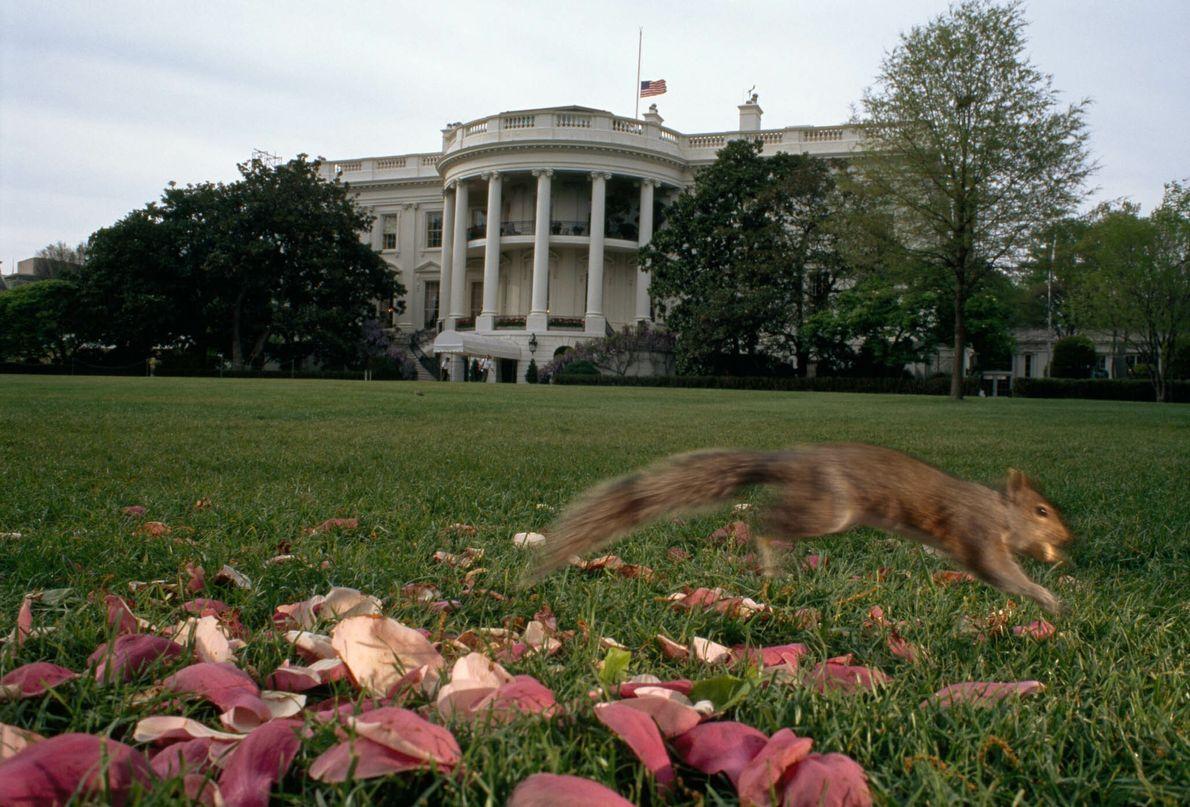 Ein Hörnchen rennt über die Wiese vor dem Weißen Haus