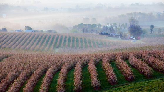 Morning Orchards