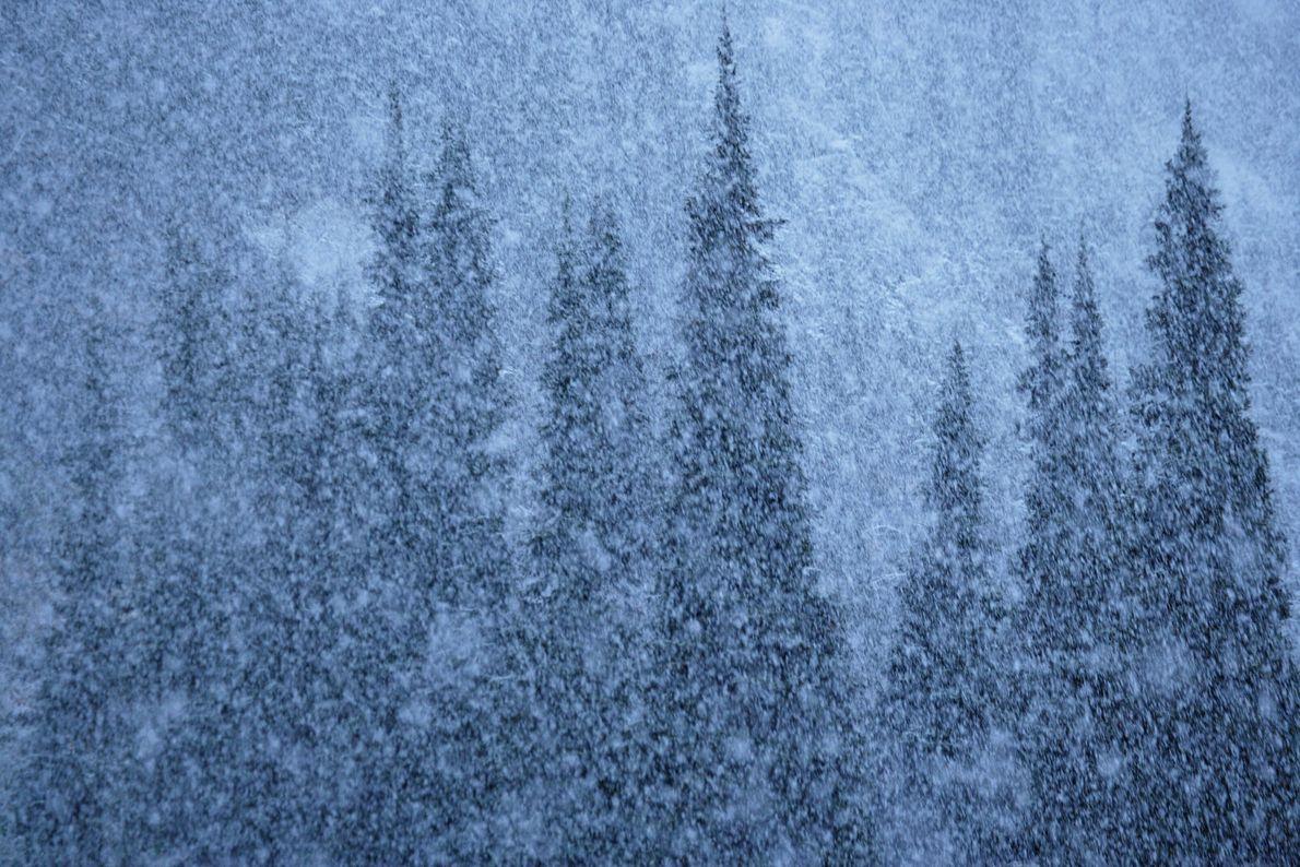Nadelbäume im Schneesturm