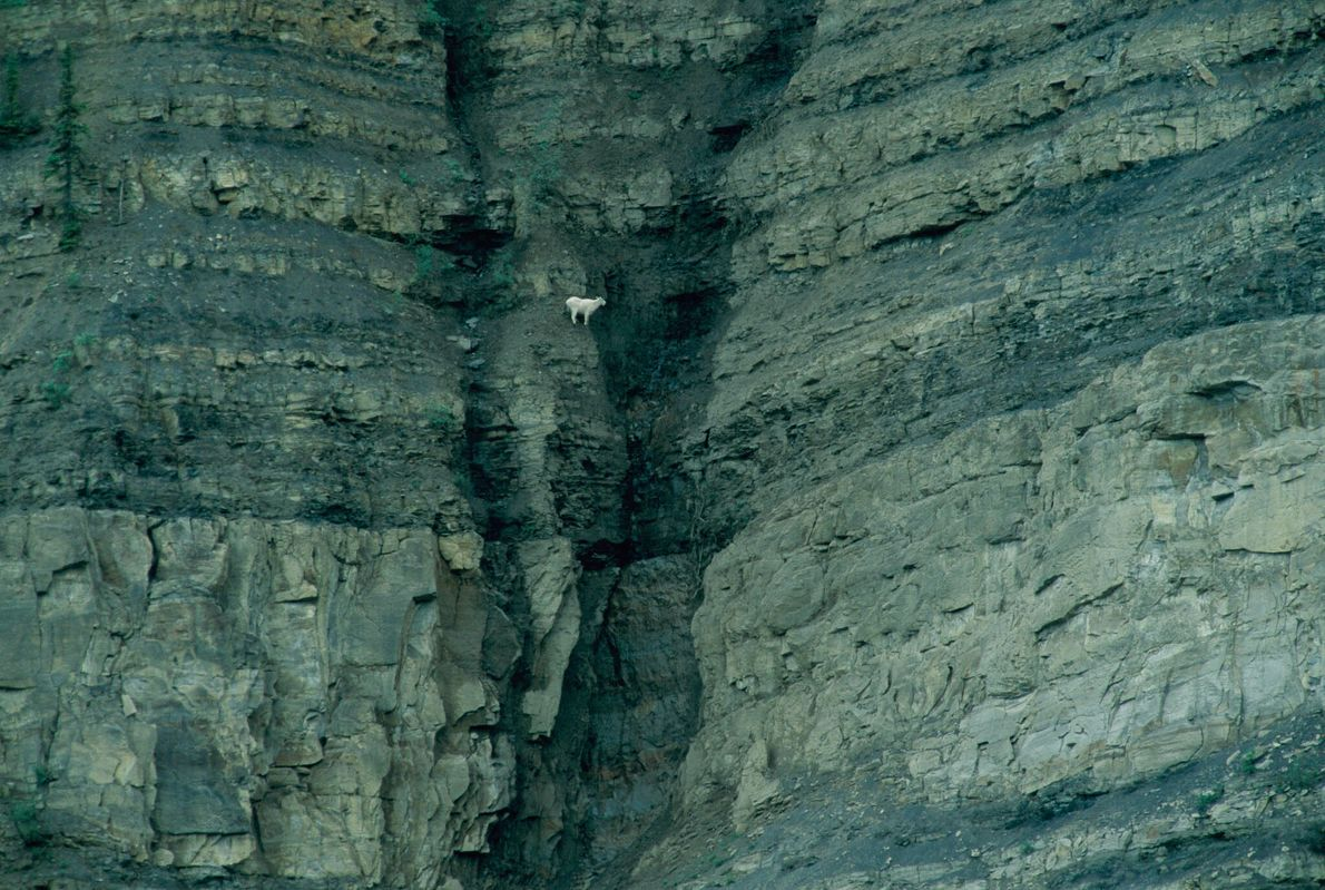 Schneeziege an einer Felswand