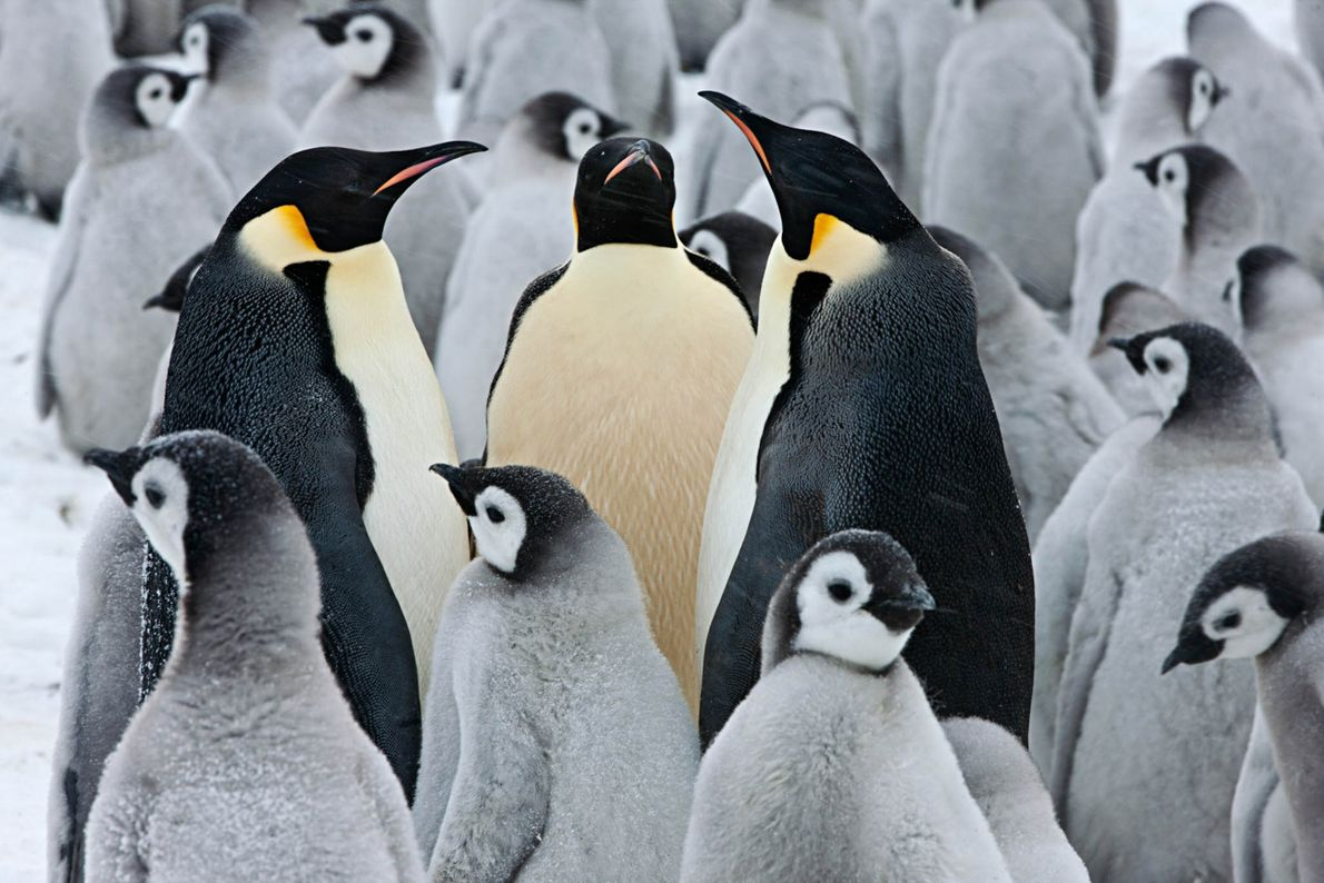 Drei erwachsene Kaiserpinguine inmitten von Pinguinküken