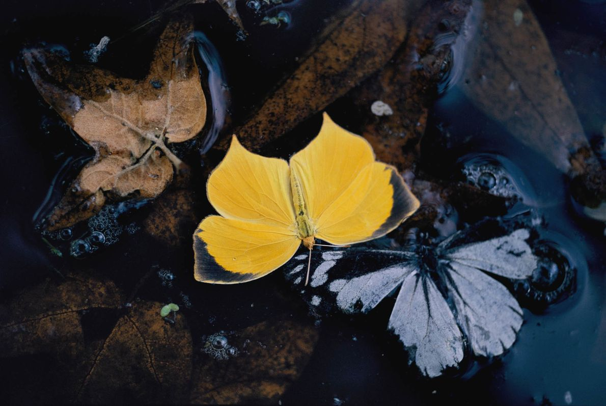 Zwei Schmetterlinge im Ramsey Canyon Preserve in Arizona