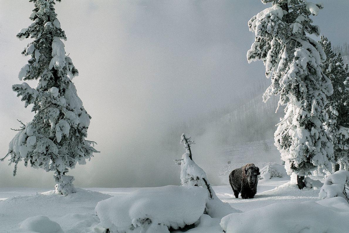 Bison in einer verschneiten Landschaft zwischen Bäumen