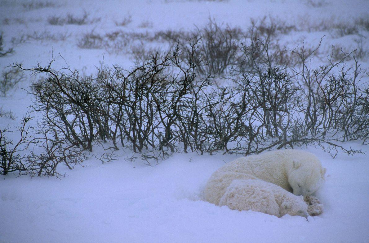 Zwei Eisbären schlafen im Schnee