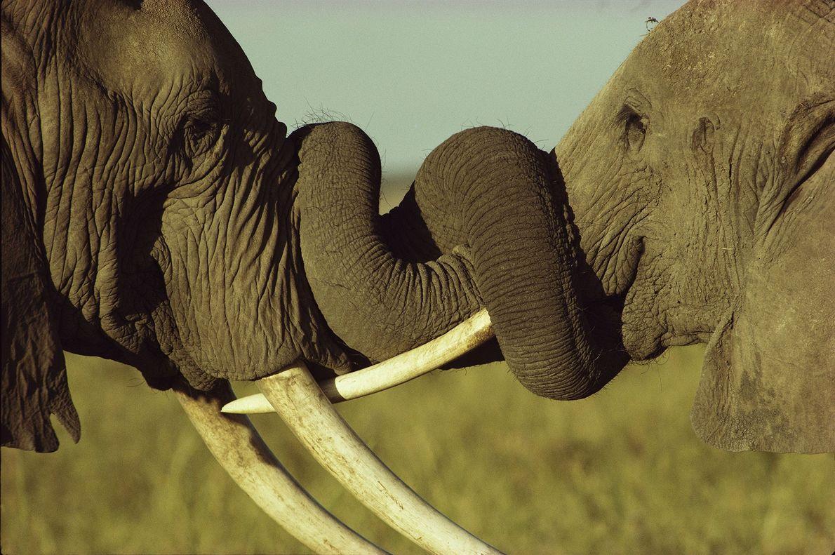 Zwei Elefanten beim Kampf