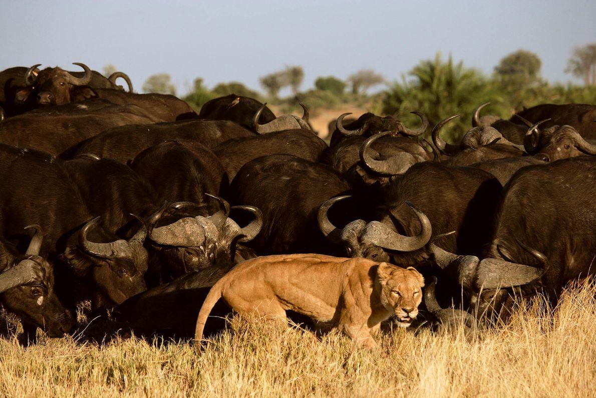 Löwin vor einer Herde Kaffernbüffel