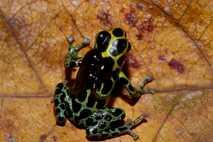 Peruanischer Frosch der Art Ranitomeya variabilis