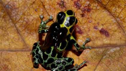 Giftiger Frosch muss vor kannibalistischen Geschwistern flüchten