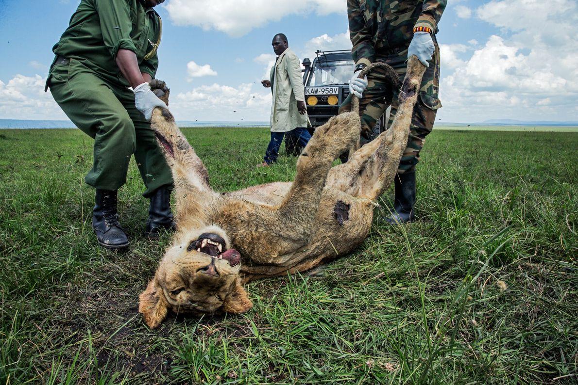 Dieser junge männliche Löwe war eines von drei Mitgliedern von Kenias berühmtem Rudel Marsh Pride, die ...