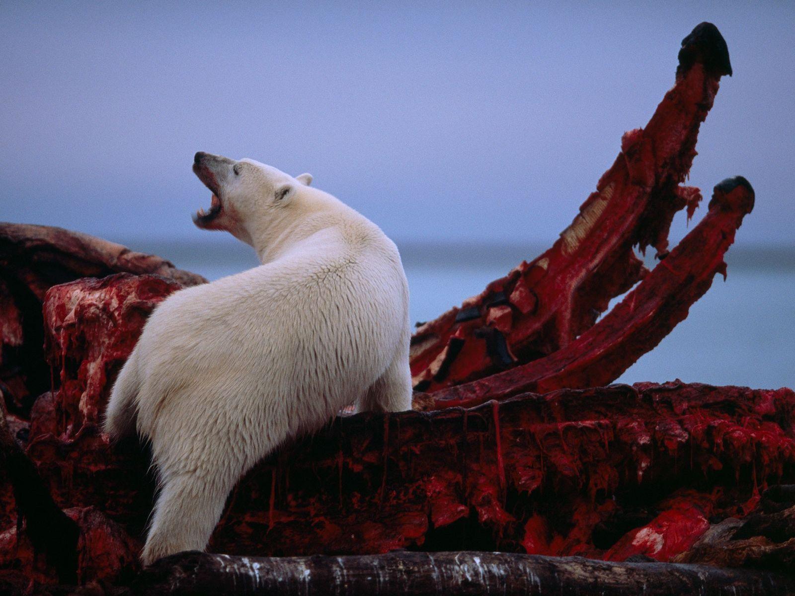 Eisbär frisst Walkadaver