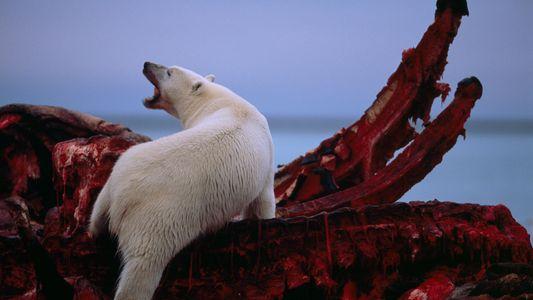 Walkadaver halfen Eisbären durch vergangene Warmzeiten