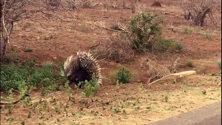 Wehrhafte Beute: Leopard und Stachelschwein