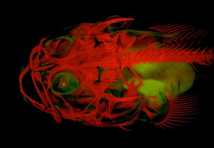"""Der Nördliche Bootsmannfisch ist eine biolumineszente Art der Froschfische, ein flacher Bodenbewohner, der Liebeslieder """"singt"""". Hier ..."""
