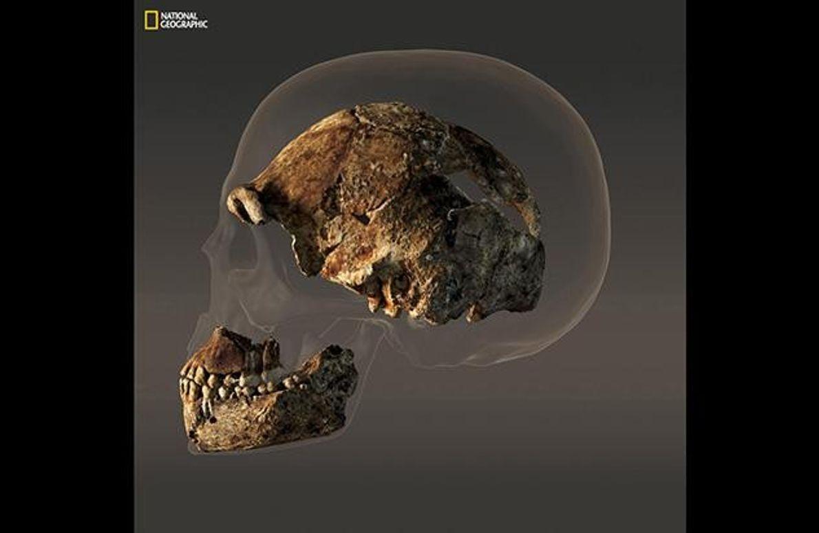 In einer Computer-Animation erkennt man Unterschiede und Ähnlichkeiten zwischen einem menschlichen Schädel und dem eines Homo …