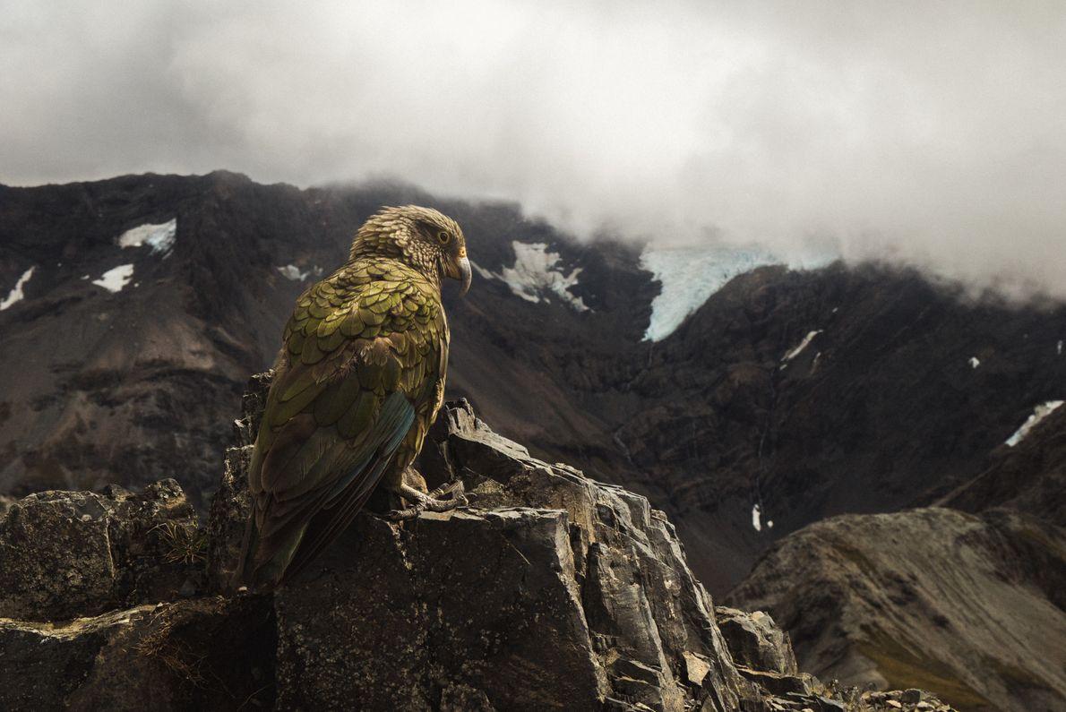 """""""An diesem Tag haben mich eine Menge Keas auf dem Gipfel des Avalanche Peak besucht. Das ..."""
