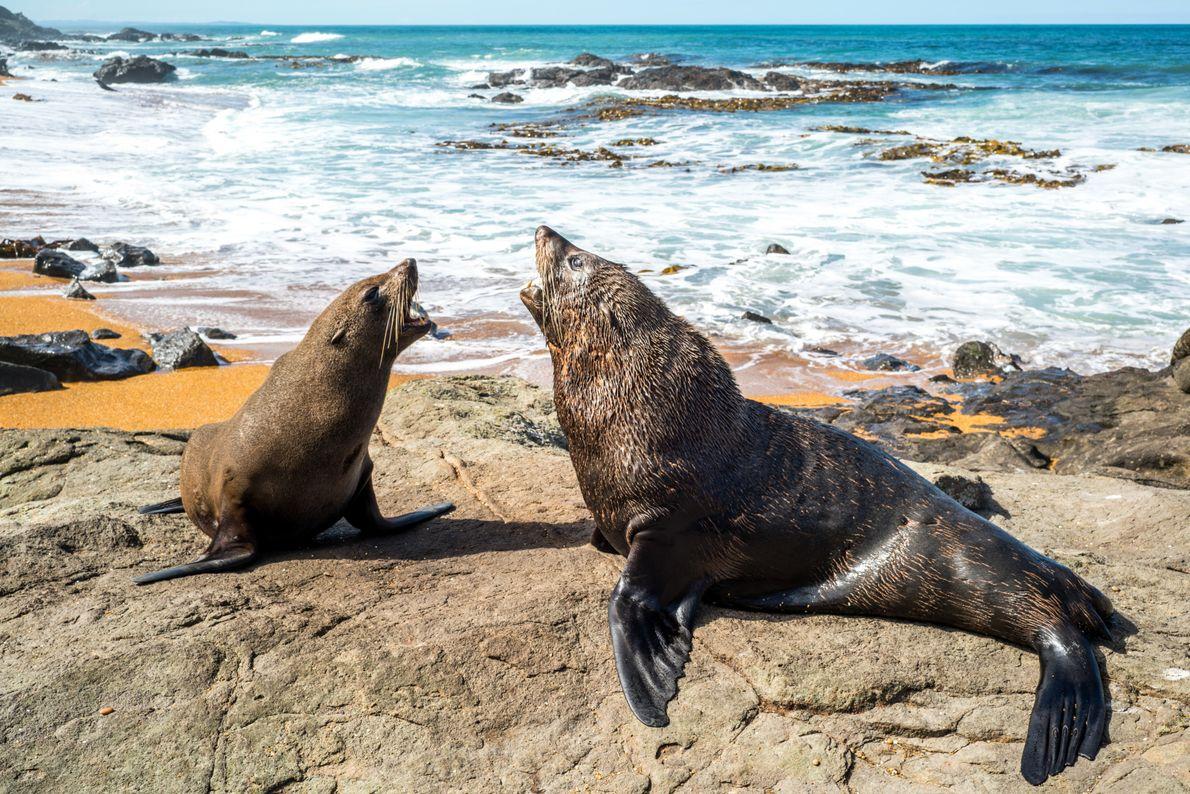 """Neuseeländische Seebären ringen am Katiki Point Lighthouse um den einen Platz an der Sonne. """"Ich stand ..."""
