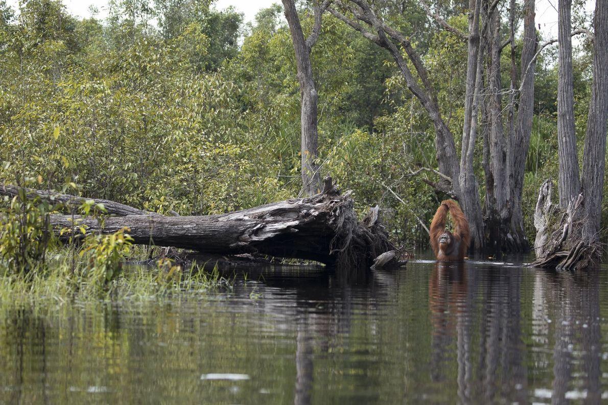 Männliche Orang-Utans wie dieses Exemplar haben eine Armspannweite von etwa zwei Metern.