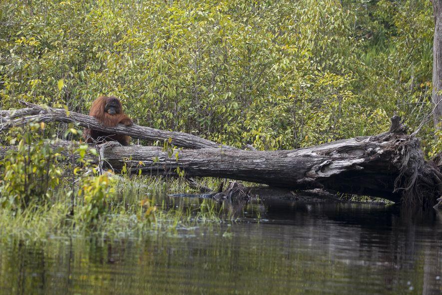 Bojan stand bis zur Hüfte im Wasser und wartete zehn Minuten lang darauf, dass der Orang-Utan ...