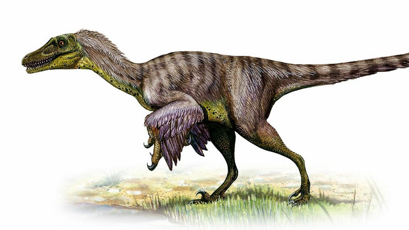 Velociraptor war in der späten Kreidezeit in Zentral- und Ostasien zu Hause und jagte vermutlich allein.