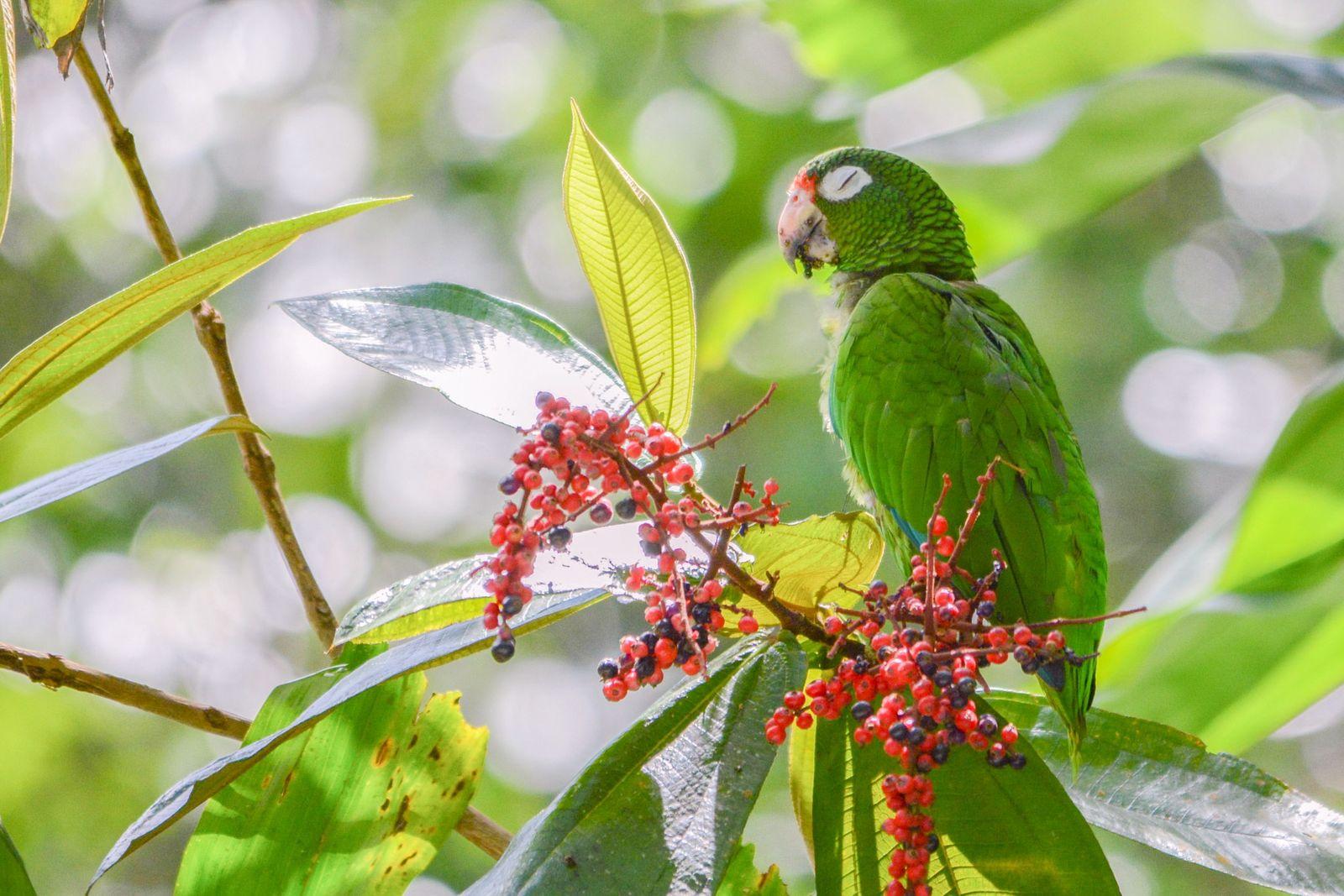 Sprachbarriere: Papageien aus Zuchtprogramm entwickeln neuen Dialekt