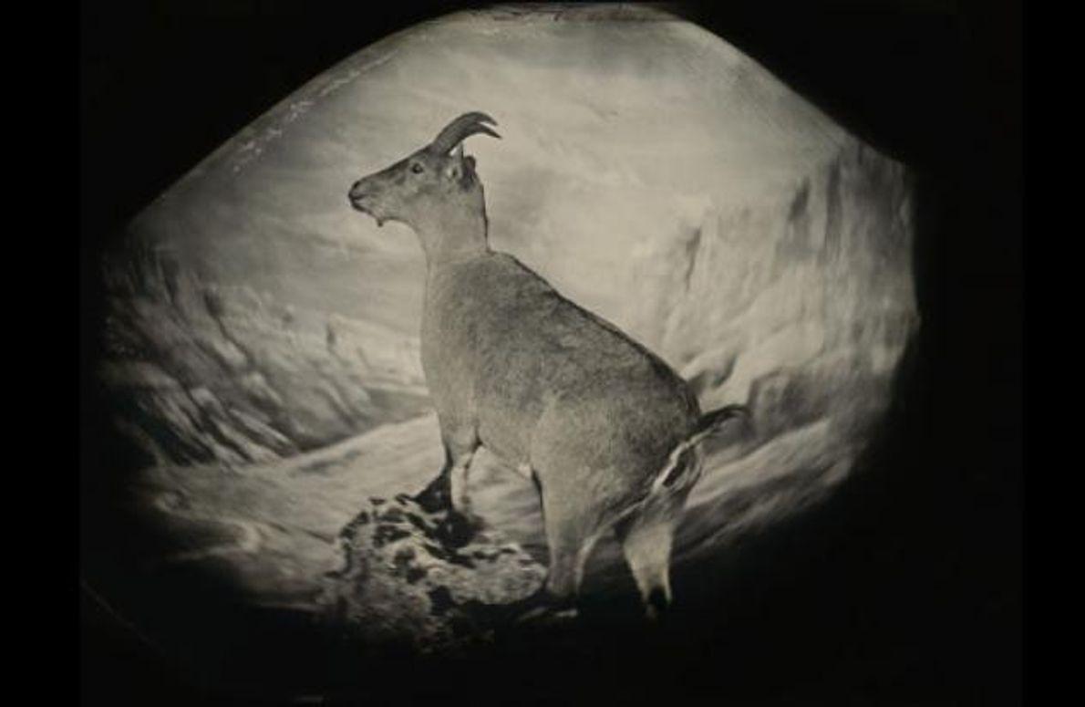 """Im Jahr 2000 starb die letzte Pyrenäensteinbockgeiß, """"Celia"""". Zuvor hatten Forscher dem Tier noch eine Zellprobe …"""