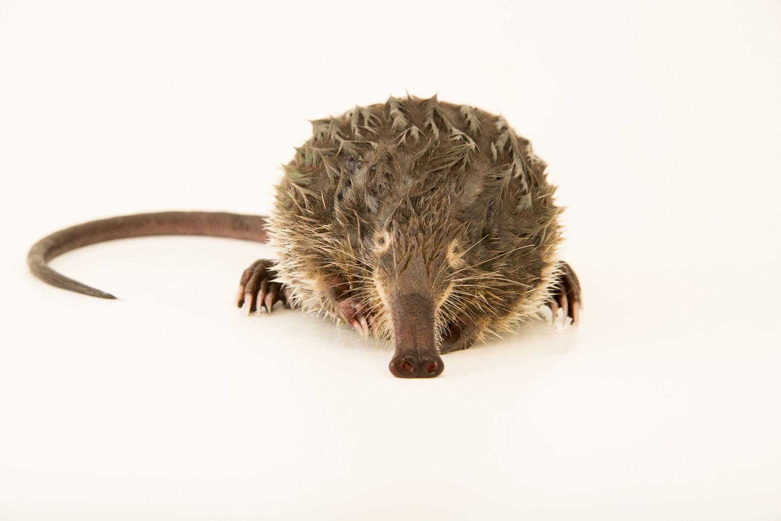 Photo Ark: Tierchen mit Schnorchelnase ist Passagier #8000