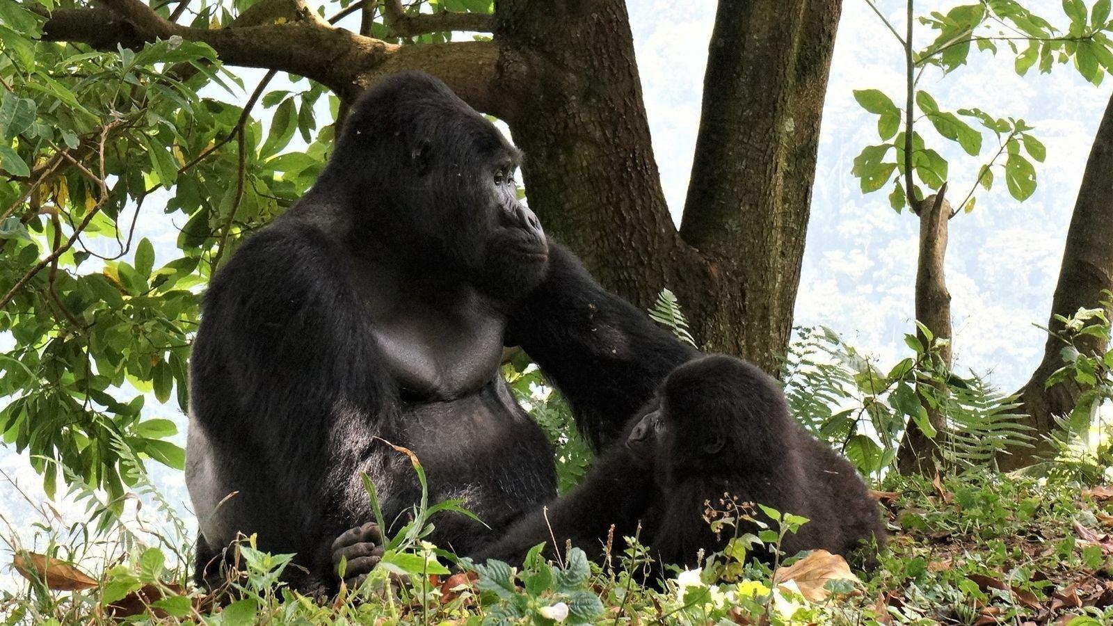 Rafiki (hier zu sehen mit einem Weibchen) hatte seit 2008 seine Gruppe von 17 Gorillas angeführt.