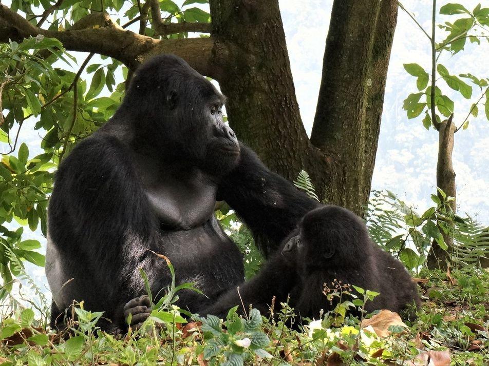 Wilderer töten beliebten Silberrücken in Uganda