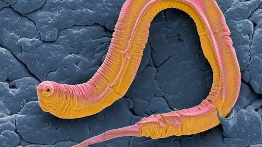 Hören ohne Trommelfell: Ein kleiner Wurm überrascht die Wissenschaft