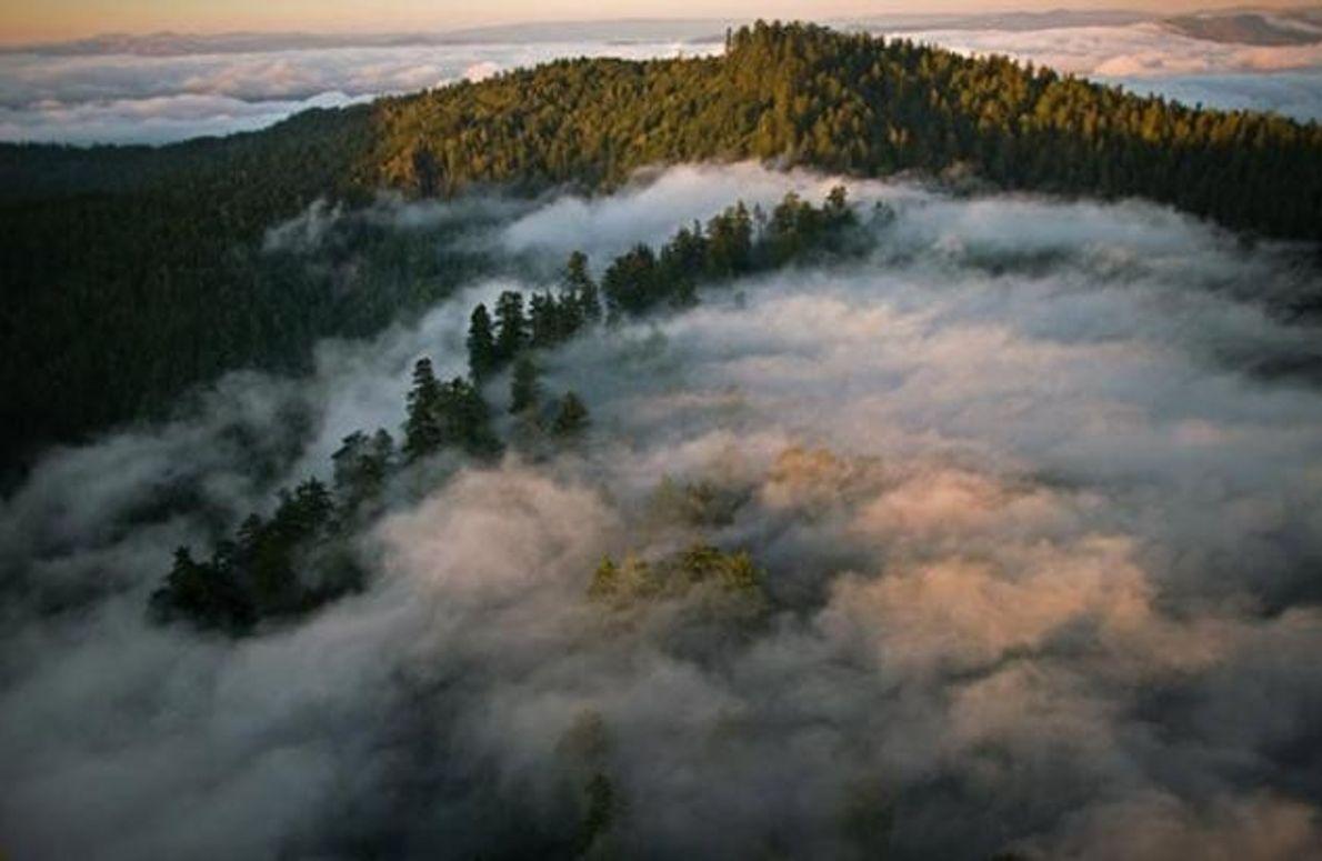Redwood Park im Nebel