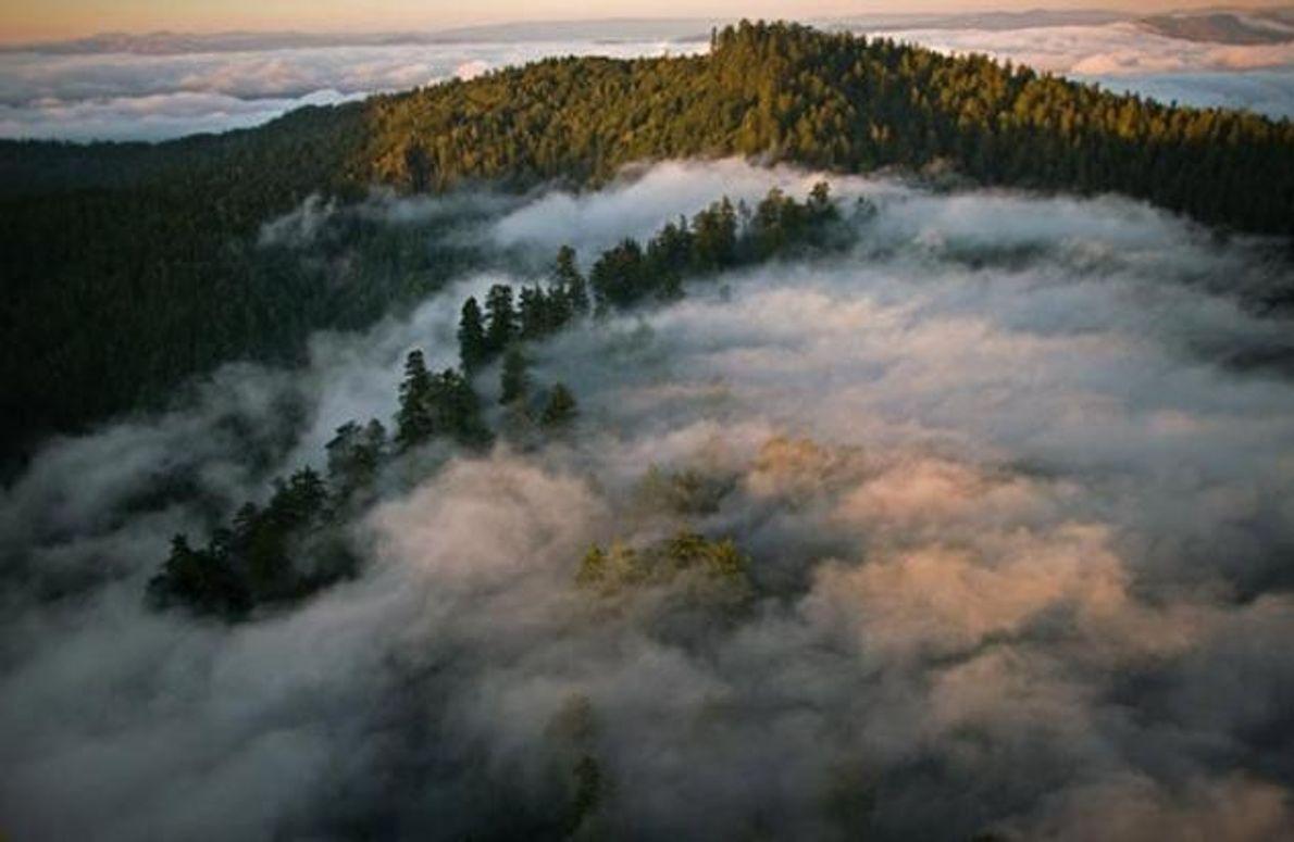 Wabernder Nebel durchzieht die Wipfel im Humboldt Redwoods State Park im Norden Kaliforniens. Ein Drittel ihres …