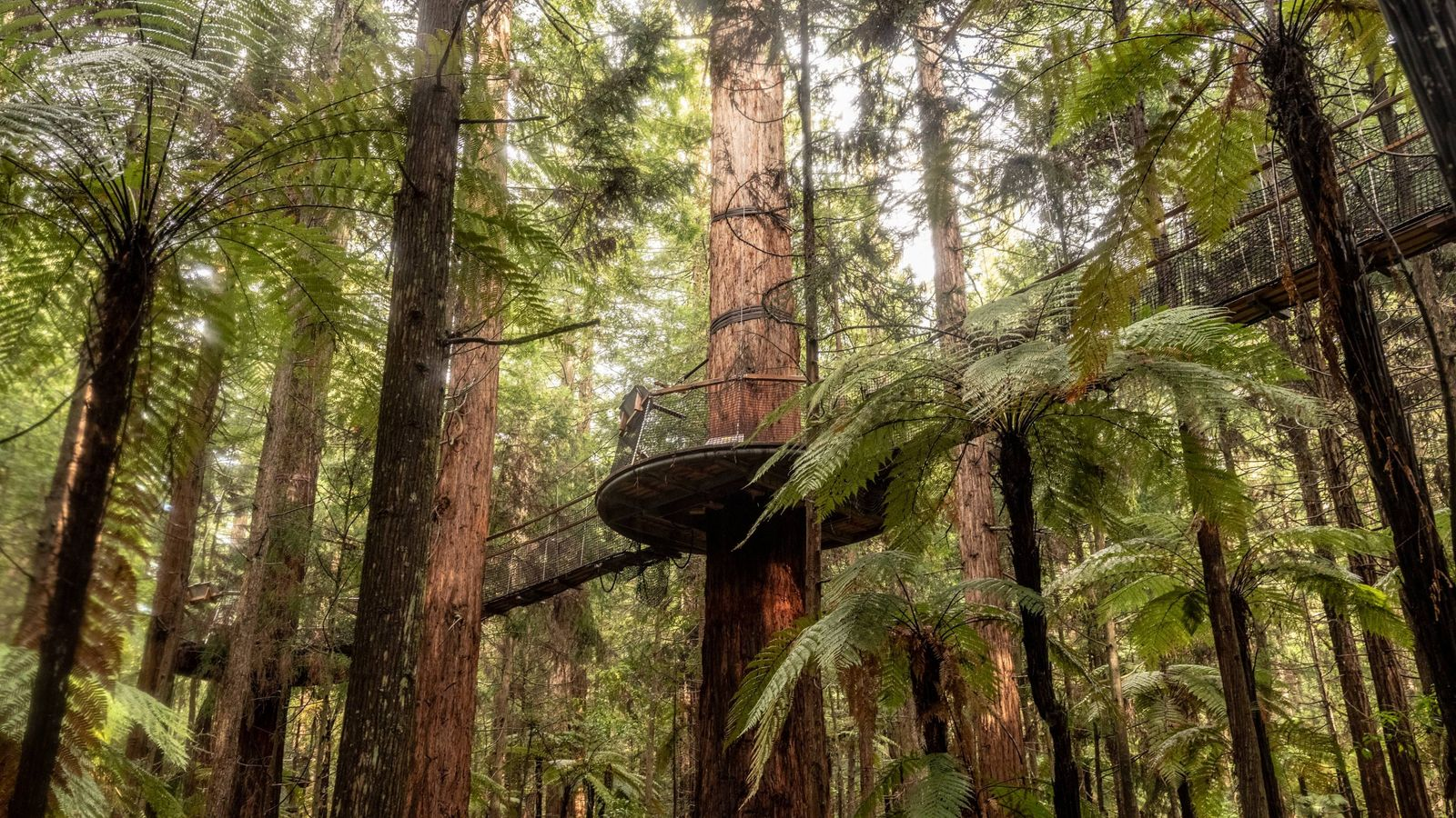 Rotholzbäume im Whakarewarewa Forest. Nur fünf Minuten von Rotorua entfernt kann man in diesem Nationalpark wandern ...