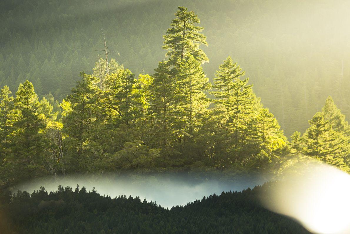 Die untergehende Sonne taucht den Humboldt Redwoods State Park in ein goldenes Licht. Ein Drittel des ...
