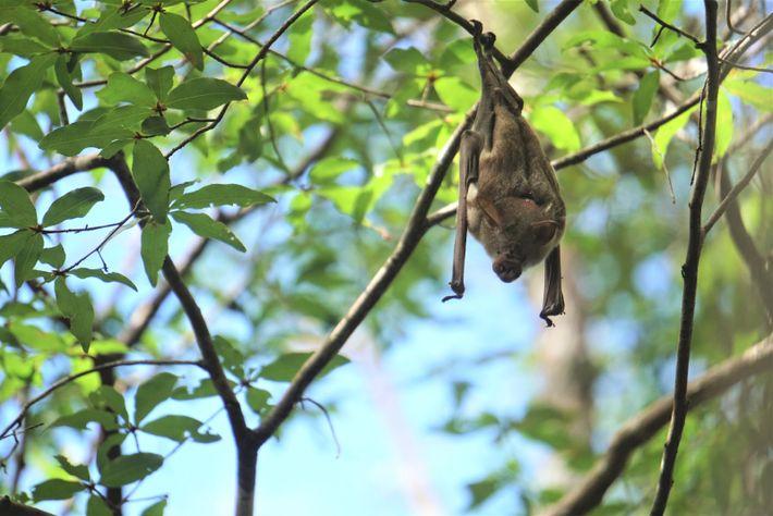 Die Commerson-Rundblattnase hängt an Ästen im Wald