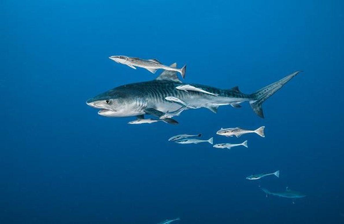Im Indischen Ozean folgen Schiffshalterfische einem Tigerhai. Sie sparen Energie, indem sie sich an seine Flanke …