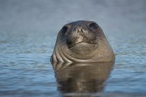 Mit einer Länge von bis zu sechs Metern ist der Südliche See-Elefant nicht nur die größte ...