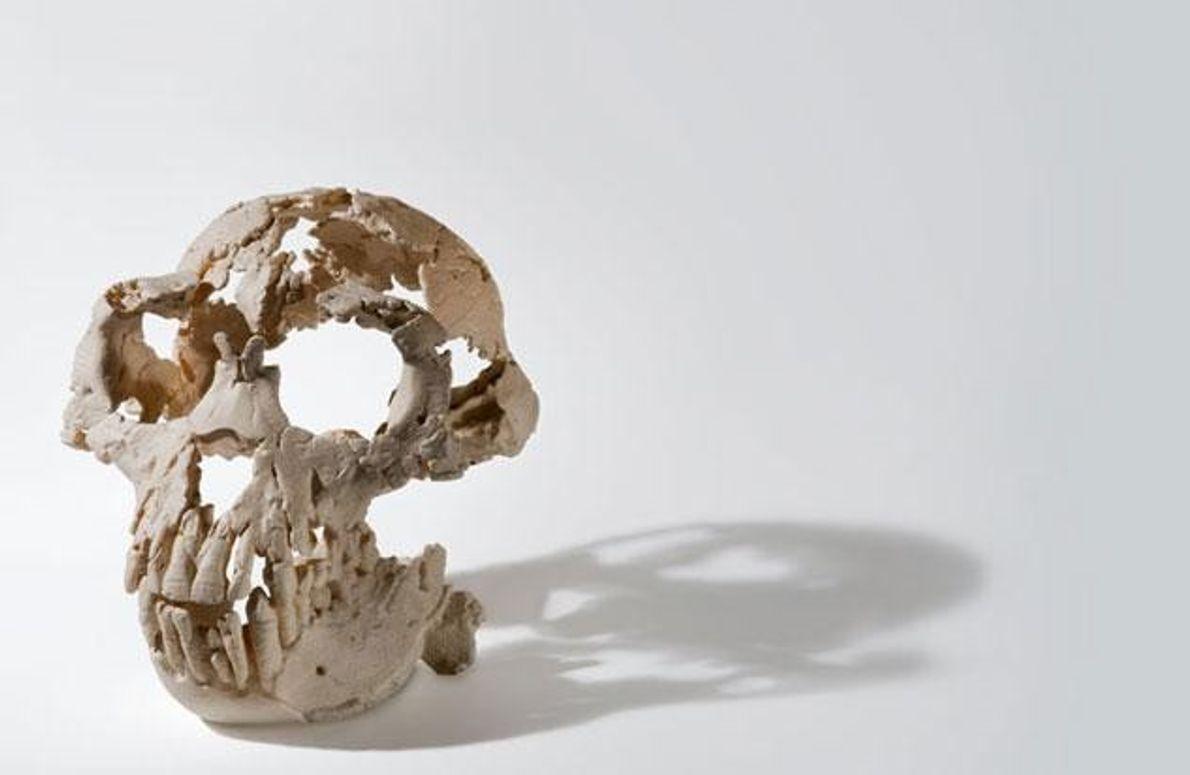 """Harzmodell von """"ardipithecus ramidus"""" auf der Grundlage einer digitalen Rekonstruktion des Schädels."""