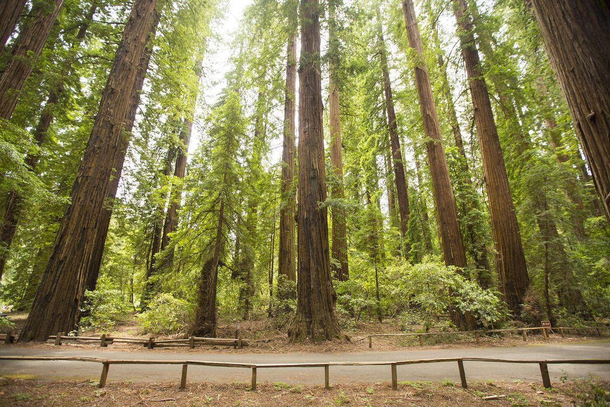 Der Richardson Grove State Park war einer der ersten Mammutbaumparks Kaliforniens und wurde 1922 gegründet. In ...