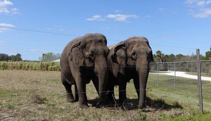 Ein Paar ehemaliger Zirkuselefanten