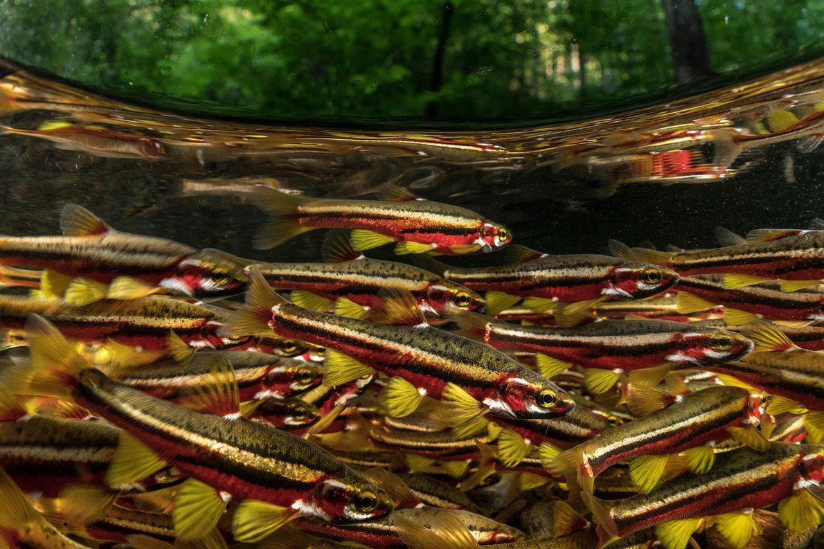 Weißfische der Art Chrosomus tennesseensis präsentieren sich zur Paarungszeit in leuchtenden Farben. Sie gelten als vom ...