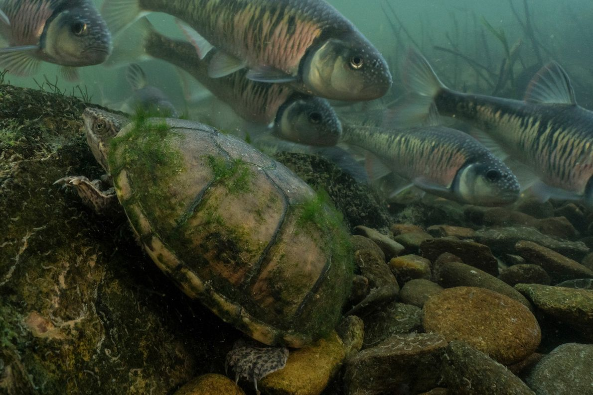 Diese Moschusschildkröte klettert im Little River in Tennessee auf einen großen Stein, während hinter ihr eine ...