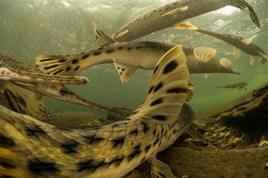 Langschnauzen-Knochenhechte sind uralte Fische, deren Äußeres sich seit prähistorischen Zeiten kaum verändert hat. Ein laichbereites Weibchen ...