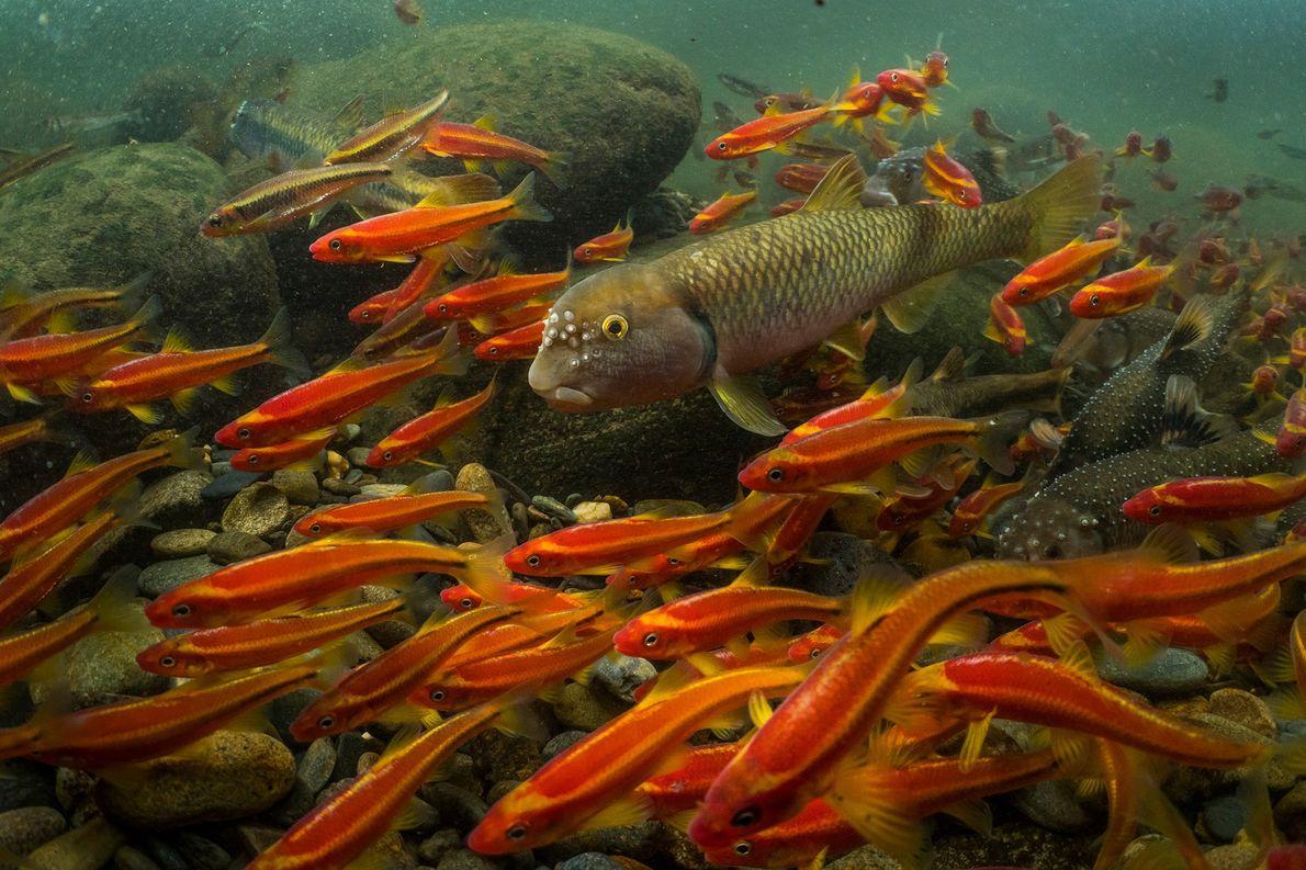 Tagelang trägt ein Weißfisch der Art Nocomis micropogon kleine Steinchen im Maul umher, um damit sein ...