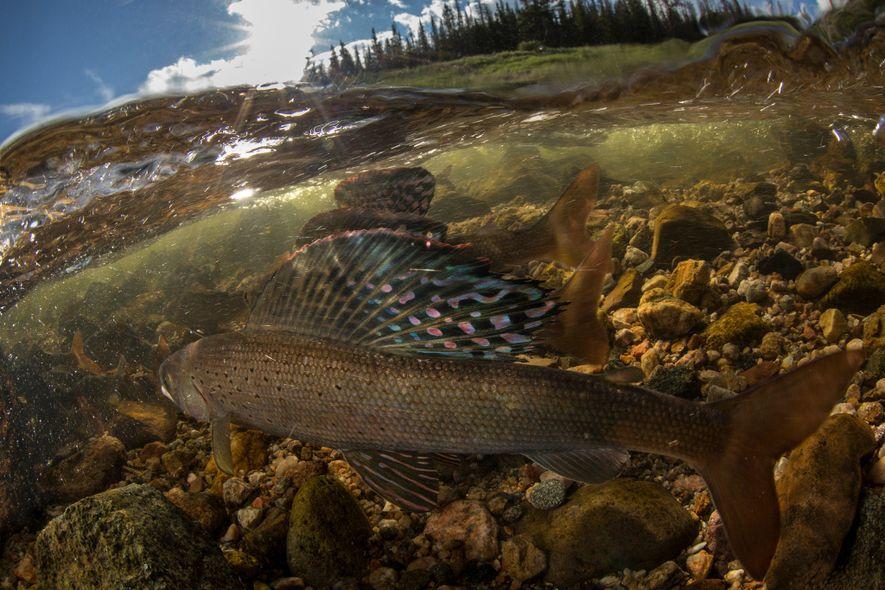 Männliche Arktische Äschen stellen ihre farbenprächtigen Rückenflossen auf, um ihre Bereitschaft zu signalisieren, um das Recht ...