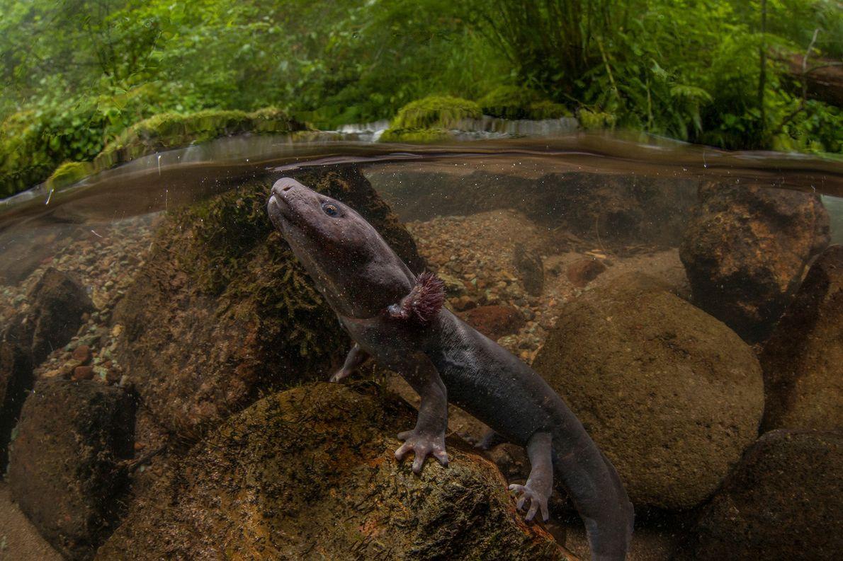 Dieser Salamander aus der Familie der Dicamptodontidae taucht auf, um Luft zu holen. Obwohl die Salamander ...