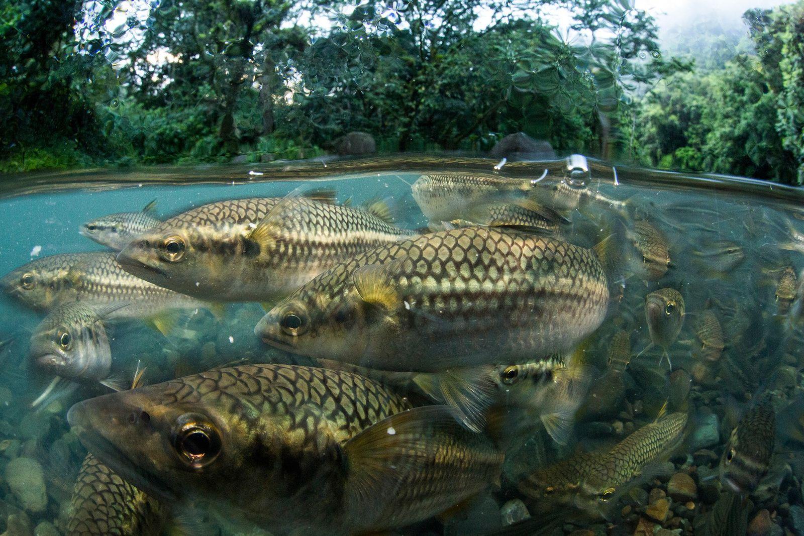 Diese puerto-ricanischen Meeräschen sind im El Yunque National Forest heimisch. Die Einheimischen bezeichnen sie als Dajao. ...