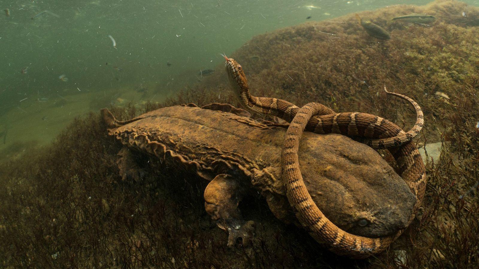 Riesensalamander