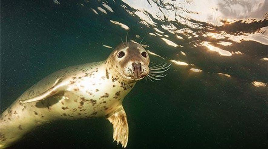 Kegelrobbe vor Helgoland frisst Seehunde
