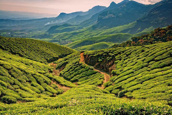 Teeblätter wachsen auf den Bergrücken im indischen Bundesstaat Kerala.